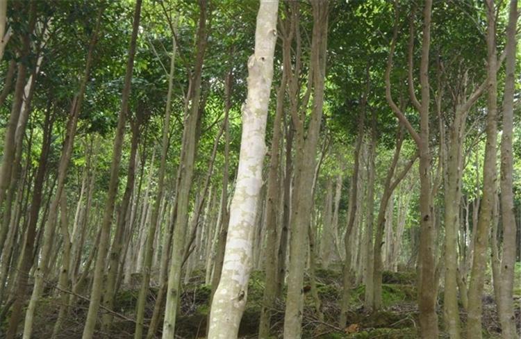 Aquilaria-sinensis-tree