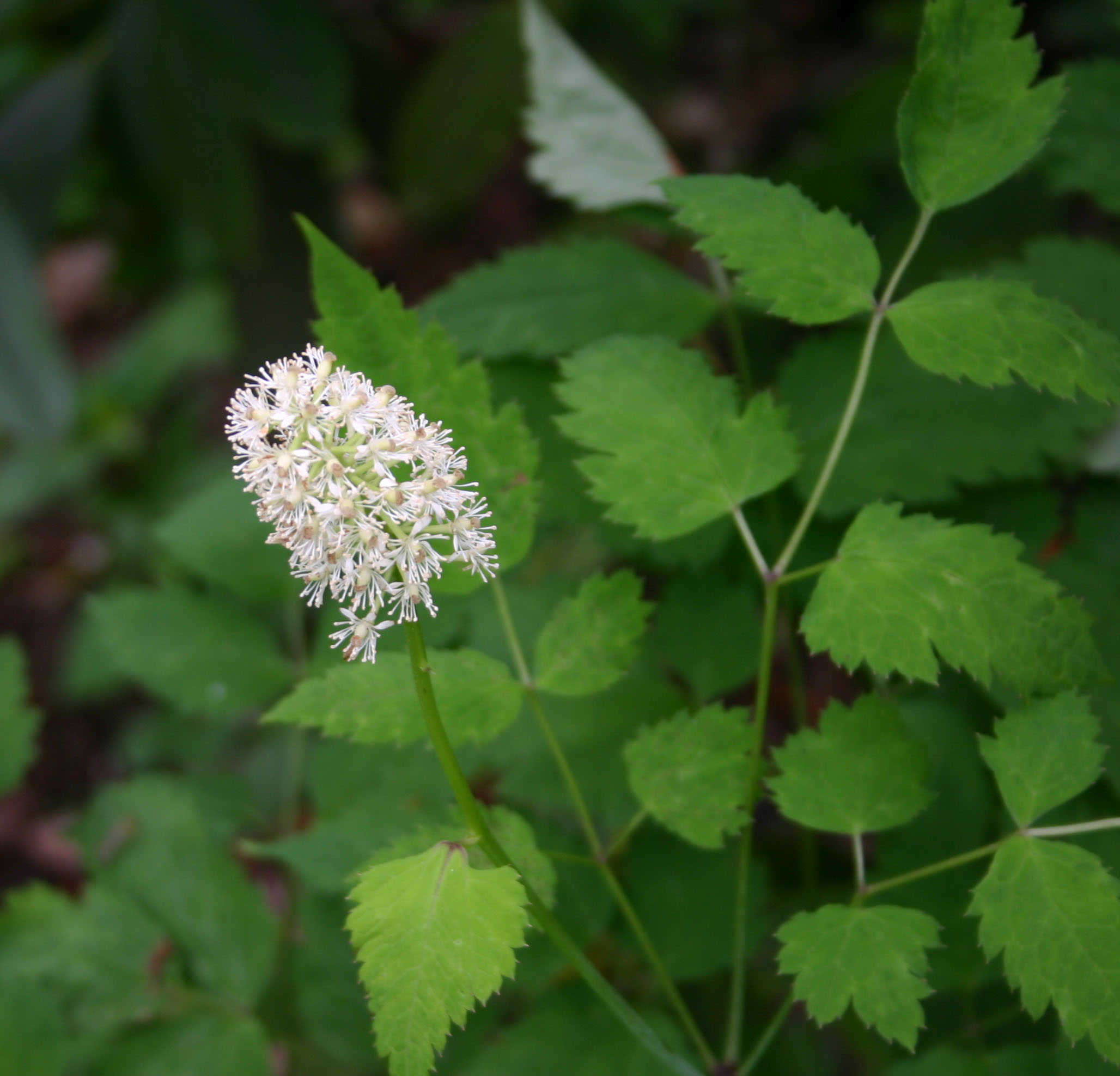 white baneberry flowers in spring