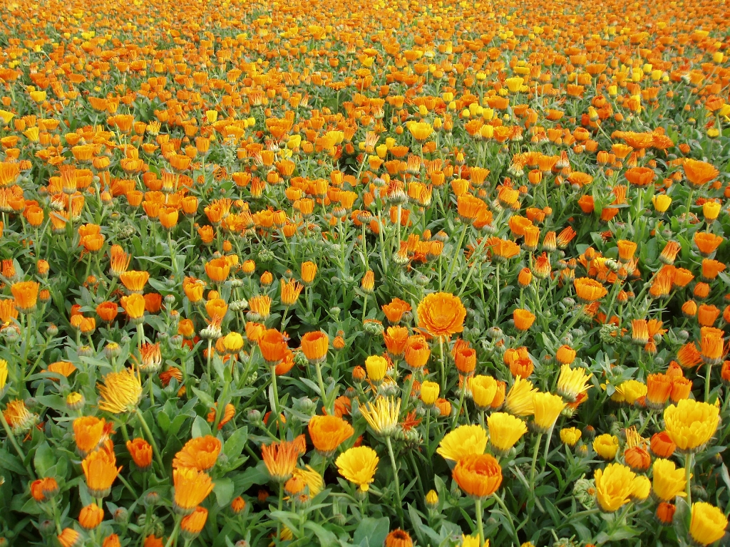 Calendula powerful healing from a small colorful flower calendula klndjul is a genus consisting of nearly 20 species of annual and perennial flowering plants in the daisy family often known as the izmirmasajfo